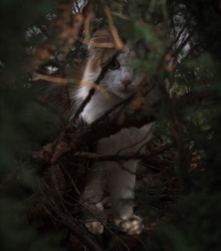 fotografía: Gato lituano